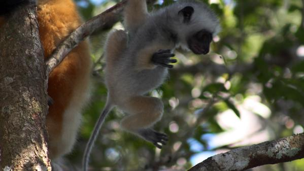 G Adventures' own Kim McCabe travels to Madagascar in search of the country's famous furry ambassadors