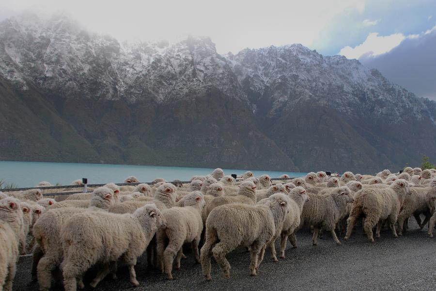 There's no creature more emblematic of New Zealand than the humble, utilitarian, and ubiquitous sheep.