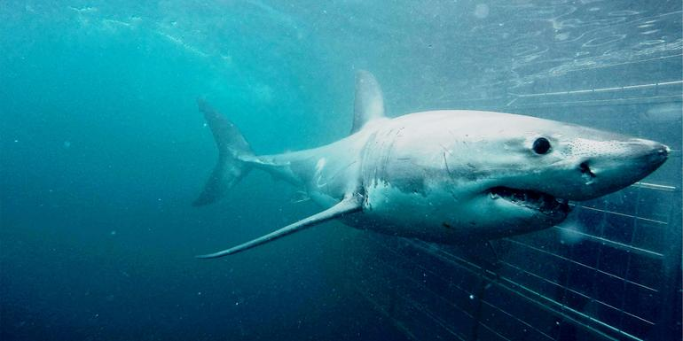 Cape Town Day Tour: Shark Cage Diving (full day)