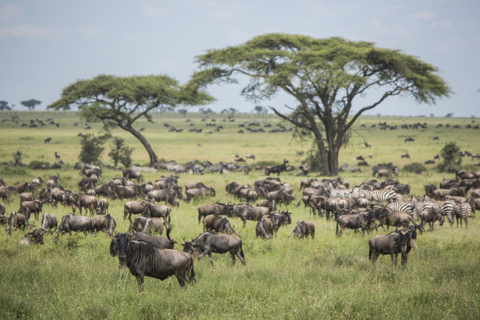 Tierwanderung in der serengeti in tansania afrika g adventures