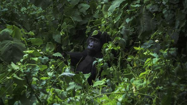 Visiting mountain gorillas in their natural habitat fosters a greater appreciation for the animals —?and helps ensure their conservation