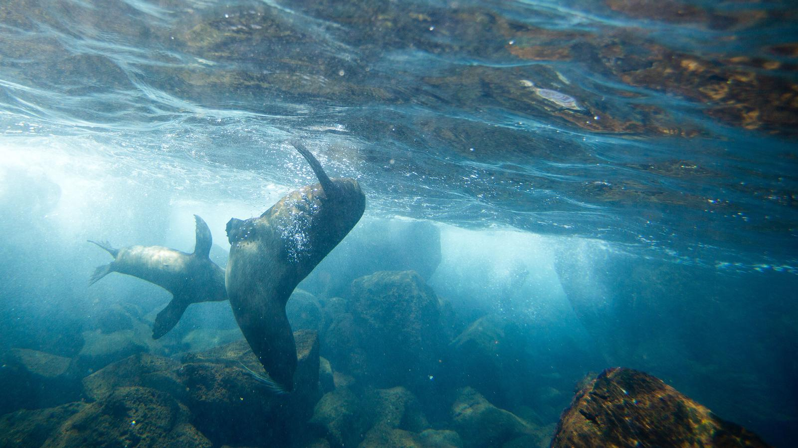 Sea lions playing underwater in the Galapagos Islands