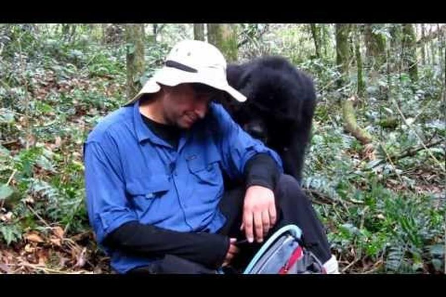 On a recent G Adventures African safari to Uganda, one of our passengers had a true 'You'll Never Forget It' moment when he encountered a 700-lbs gorilla looking for a smooch. Would you to brave enough to let a gorilla kiss you