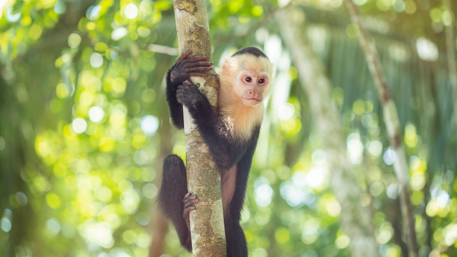 Monkey hangs on a tree at the Manuel Antonio National Park, Costa Rica