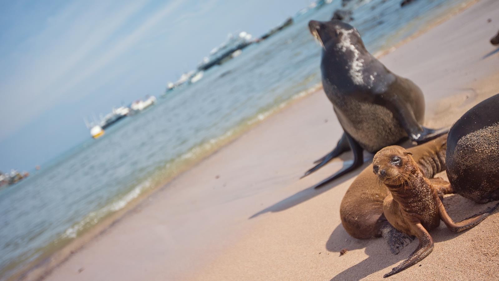 Mother sea-lion watching over her pups in the Galapagos