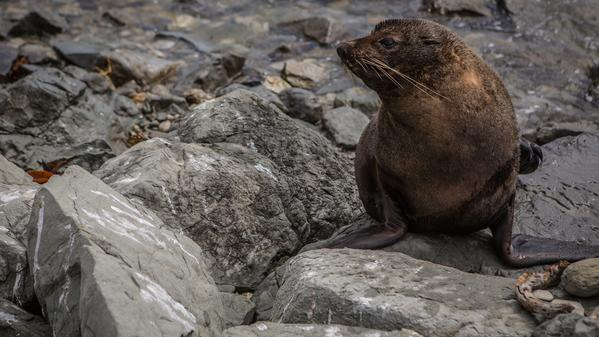 What's got this fur seal so worked up? Watch him let it all go as he scratches up a solution on these rocks.?