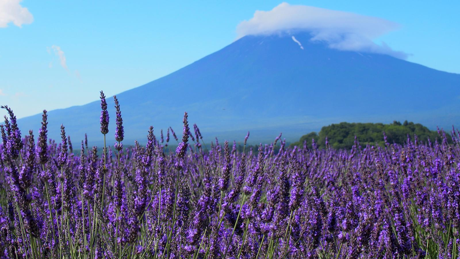 Lavender field in front of  Mount Fuji