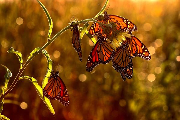 How many times does a butterfly flap its wings to get from Canada to Mexico? We did the math!