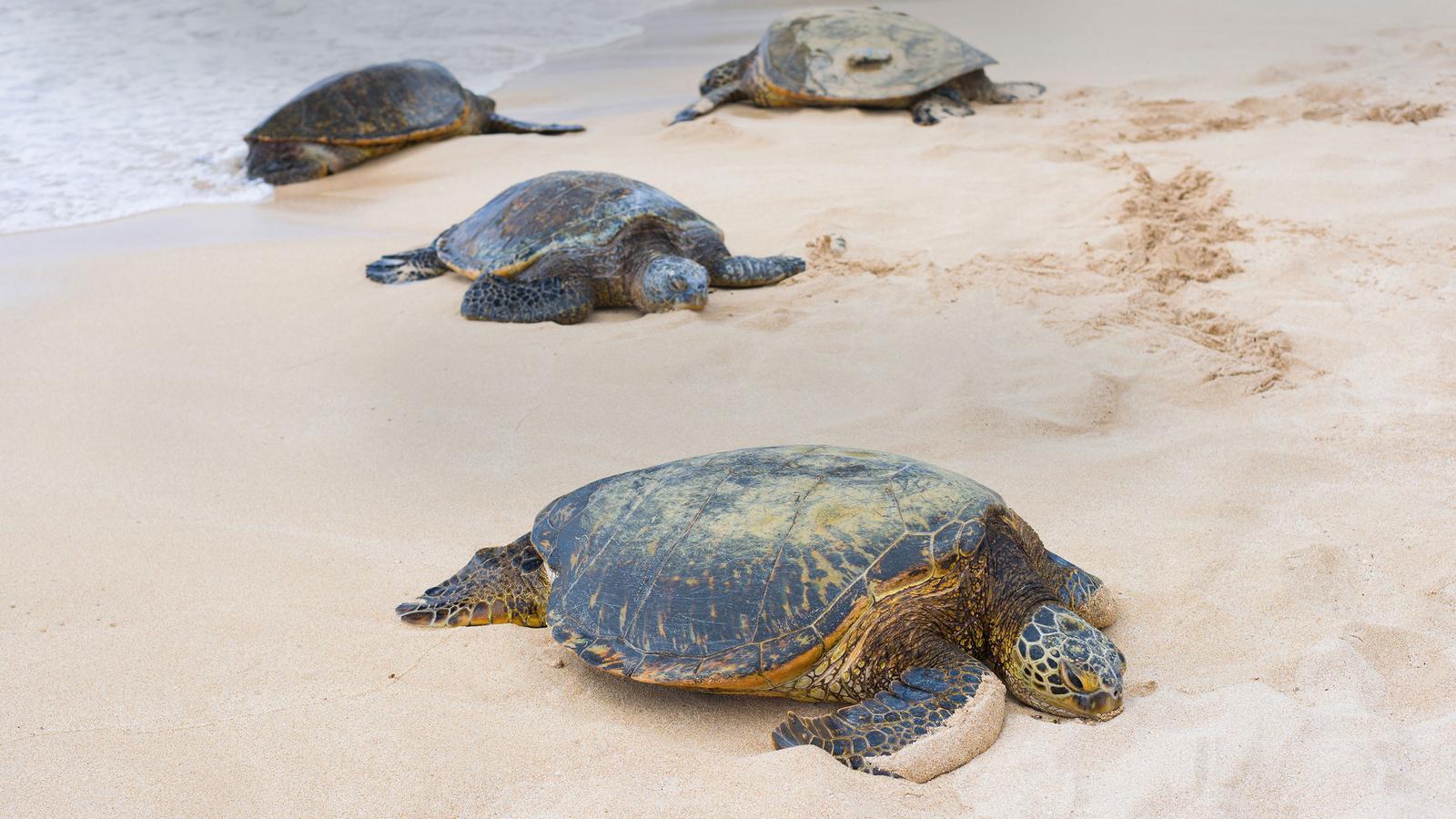Giant turtles come ashore during nesting season