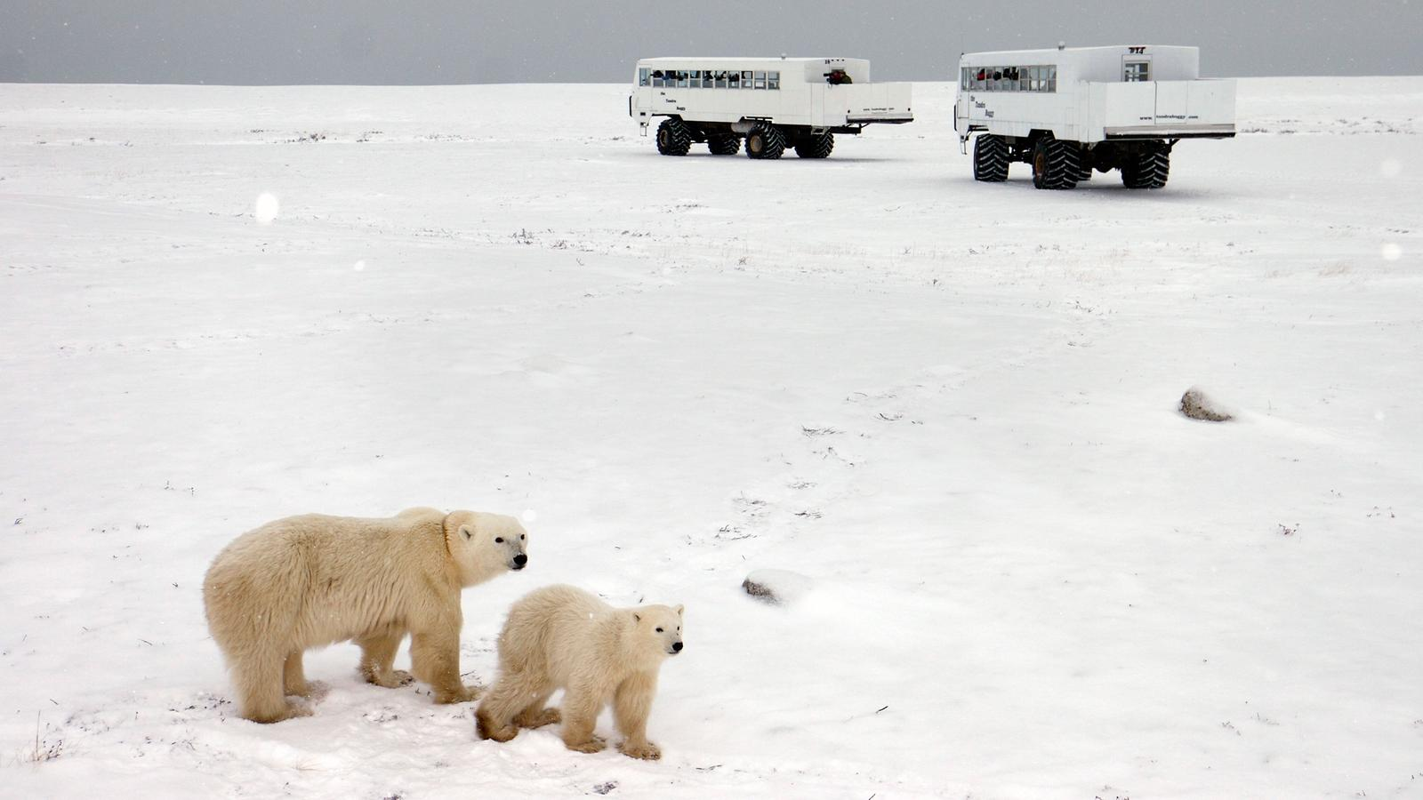 Polar bear and cub walking through a snowy desert while two trucks observe them from a distance, Arctic