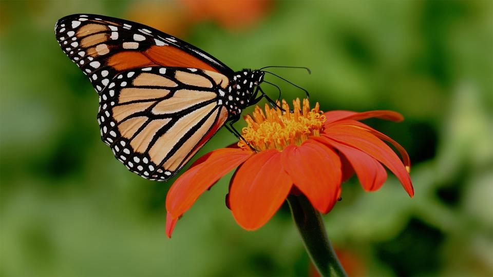 Nature Rocks: Monarch Butterfly Migration in Mexico - G