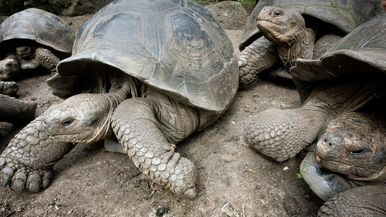 Giant tortoises laying out on the rocks in the Galapagos