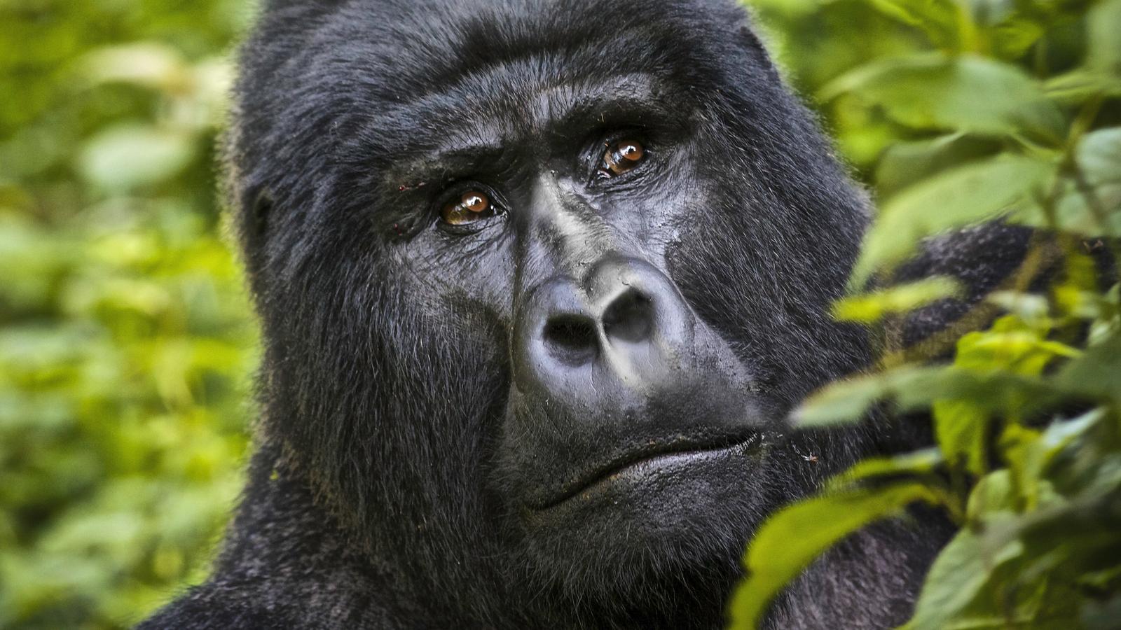 Gorilla strip pics 10