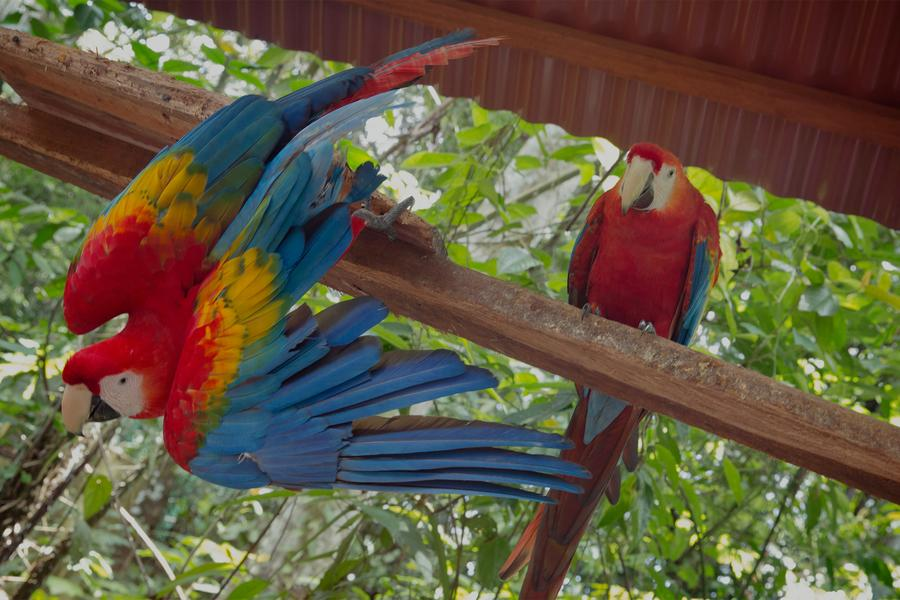 Join us in the Peruvian Amazon and go eye to eye with a Scarlet Macaw.