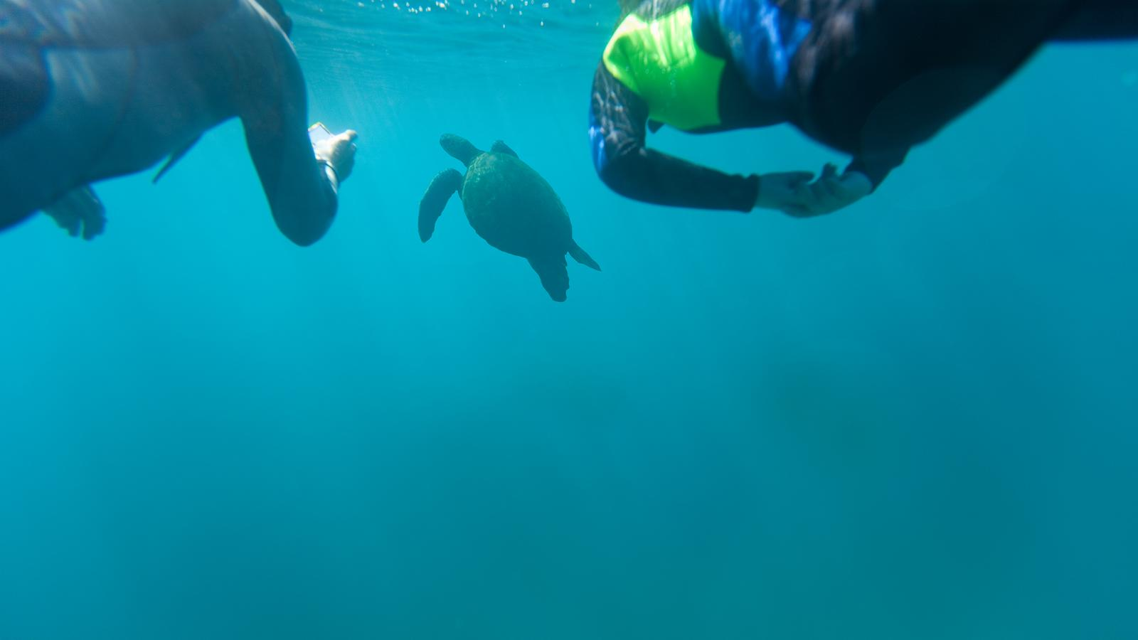 Snorkellers following a tortoise underwater in the Galapagos