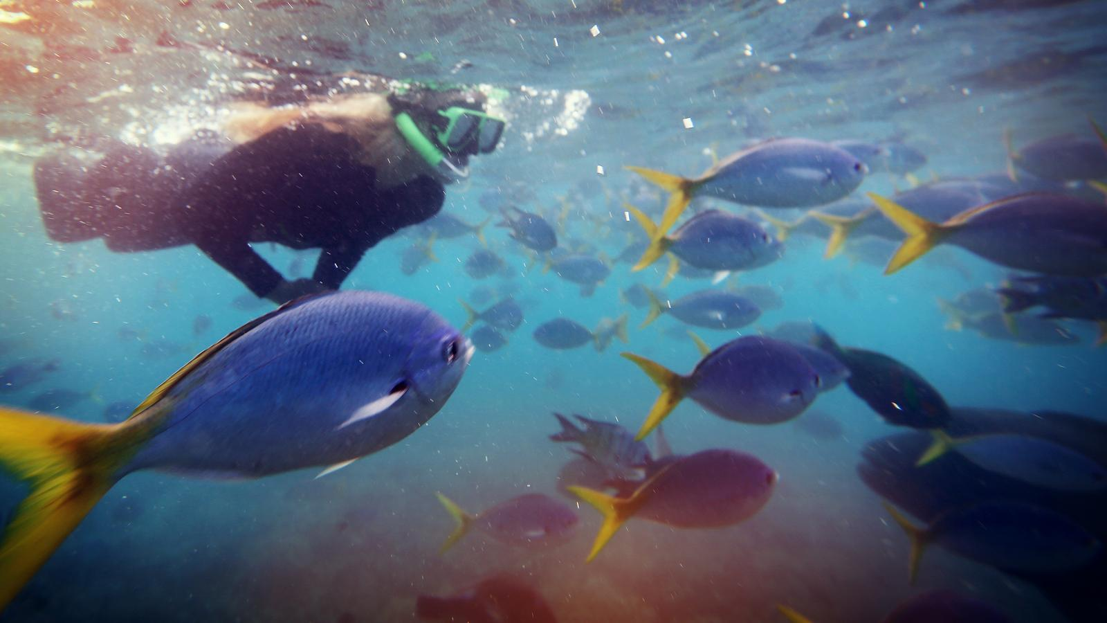 A traveller snorkelling underwater amongst a school of fish in Whitsunday, Australia