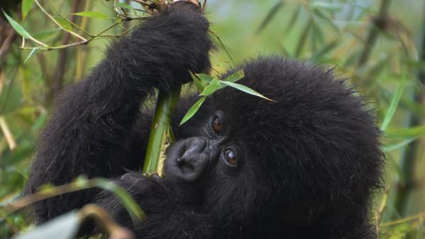 Travel blogger Cailin O'Neil tests her endurance on a trek to see the mountain gorillas in Rwanda. Fair warning: Cute baby gorilla pictures ahead.