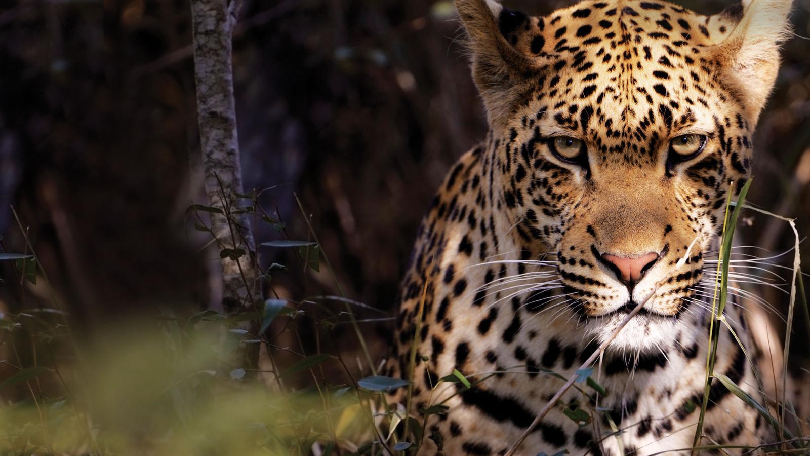 Close up portrait of a leopard in Kruger National Park