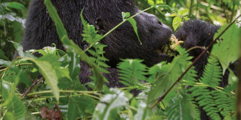 Rwanda & Uganda Gorilla Discovery