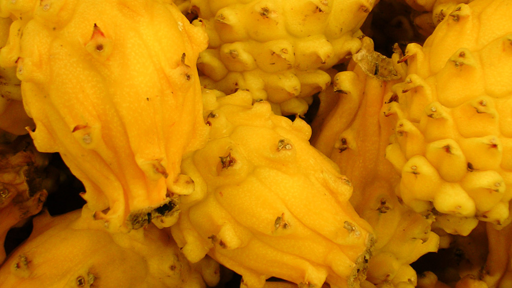 Yellow dragon fruit are harder to come by than their pink friends. Photo courtesy Kita K.