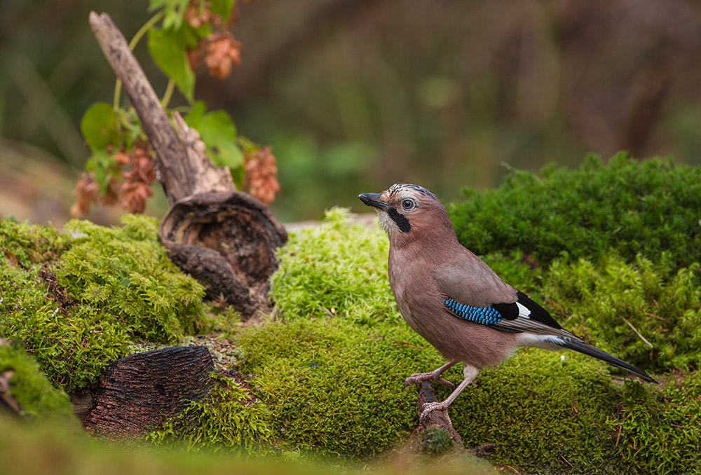 Spot Eurasian jaybirds on the Castelejo Environmental Trail. Photo courtesy Joan Egert, Dreamstime.