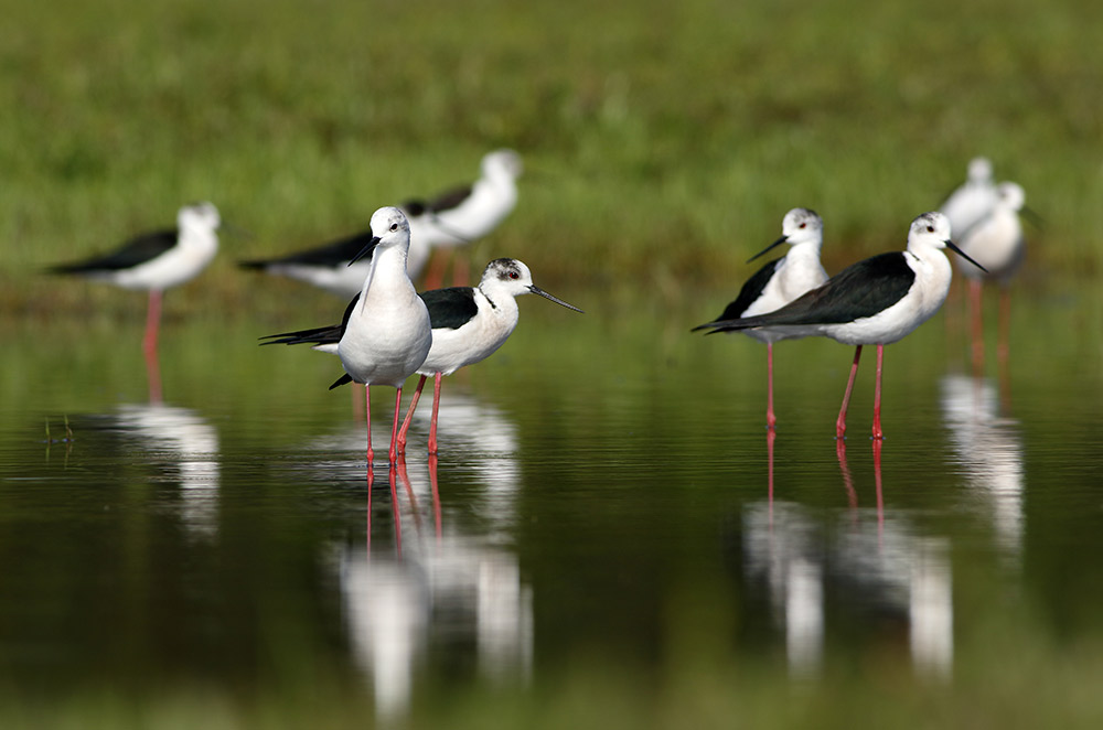 Black-winged stilts often make an appearance on the Venta Moinhos Wetlands Trail. Photo courtesy Tahir Abbas, Dreamstime.
