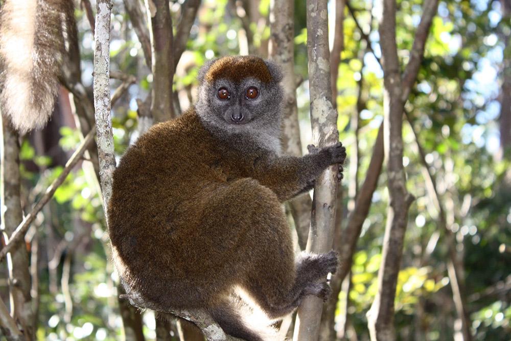 A bamboo lemur in Ranomafana National Park.
