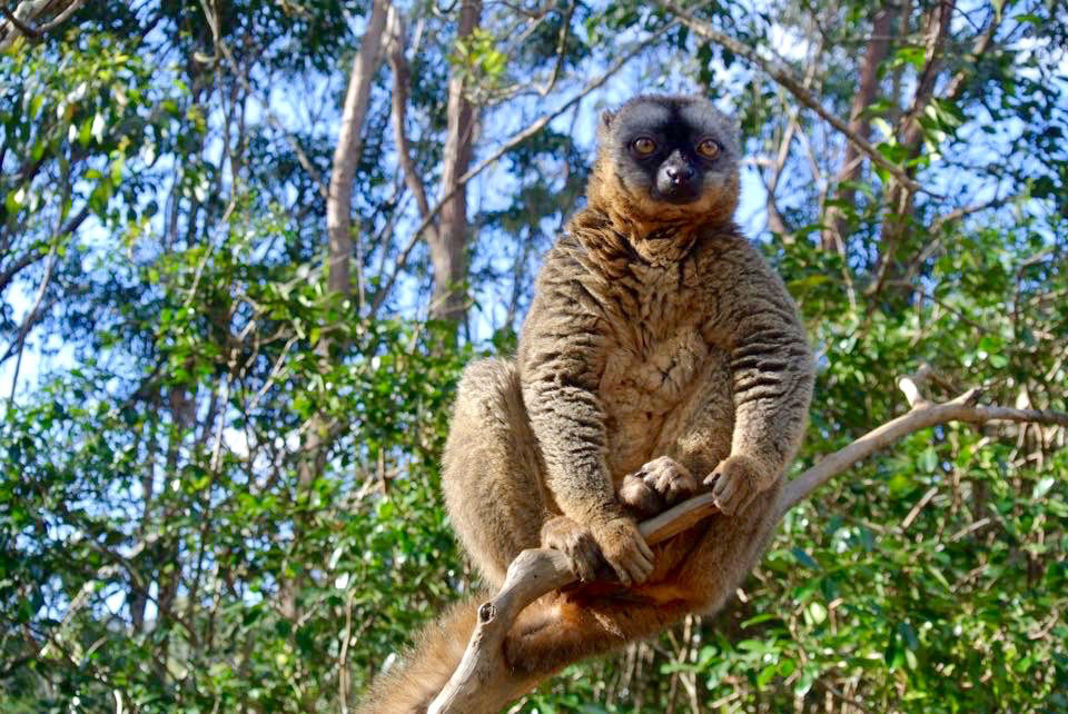 A brown lemur perfectly posed on a tree branch.