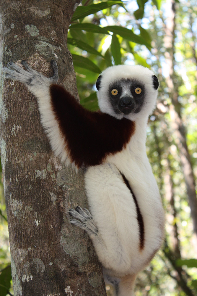 Getting checked out by a Coquerel's sifaka lemur.