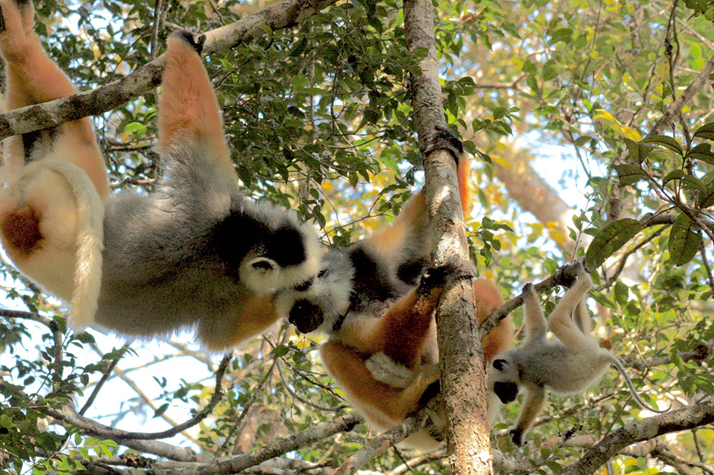 This golden sifaka family shared a private moment with us.