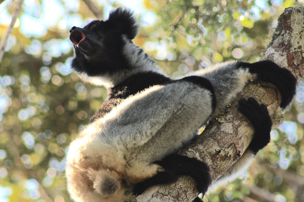 Listening to this Indri calling out.