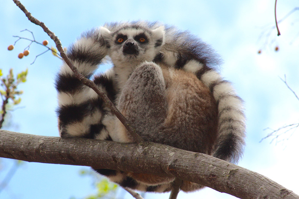 This ring tailed lemur's got his eye on something!