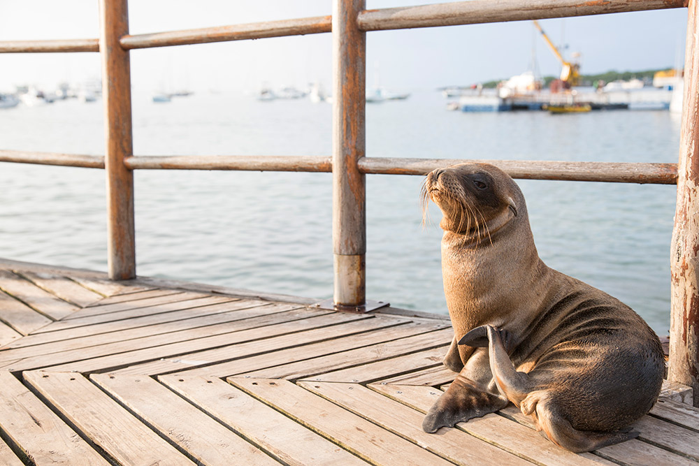 A little sea lion pup making himself at home on the pier.
