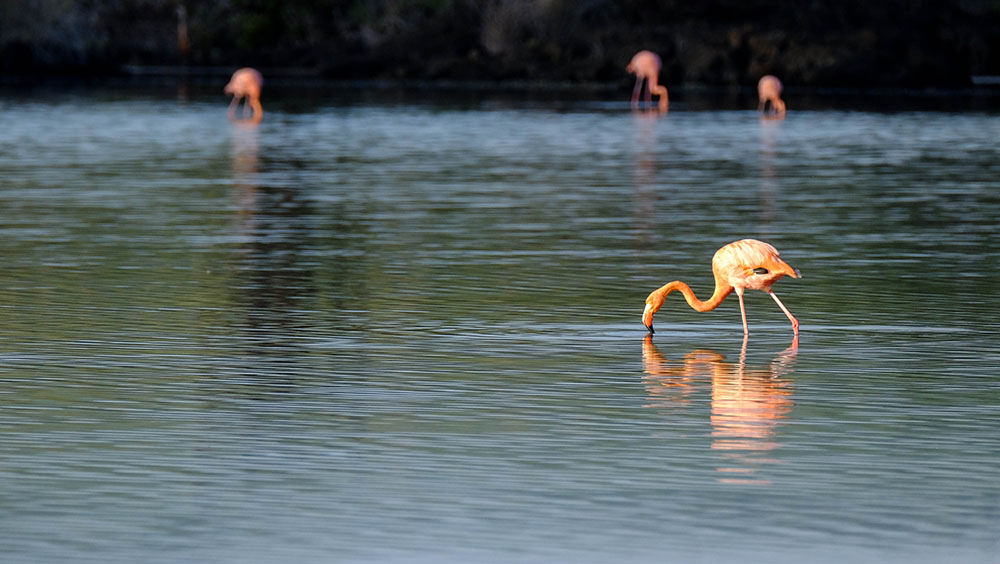 Flocks of bright pink flamingos are a common sight on Floreana. Photo courtesy of ser_is_snarkish.