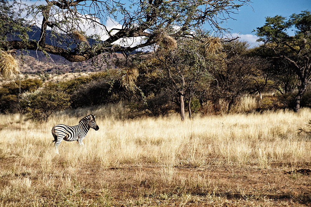 A zebra makes its way through a sun-drenched field.