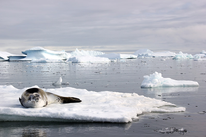 Having a staring contest with a leopard seal.