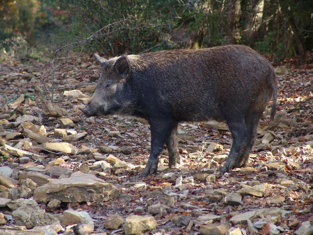 A wild boar in Tuscany. Visitors should be cautioned against getting too close to the wild animals, as they are extremely dangerous. Photo courtesy of Henry Hoffman.