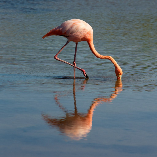 Flamingo in the Galapagos Island - Photo by Andi