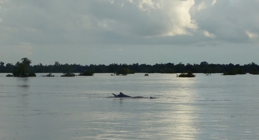 Spotting a Mekong Irawaddy dolphin is a highlight of a visit to Kratie. Photo courtesy of Ronan C.