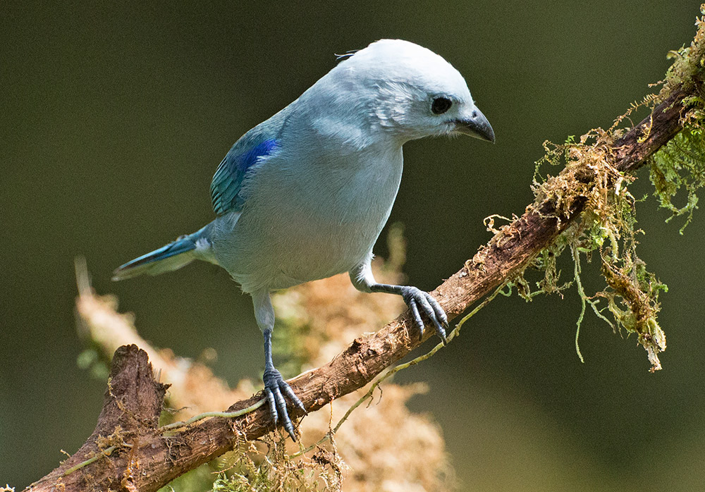 A blue-grey tanager in Mindo. Photo courtesy Lip Kee Yap.