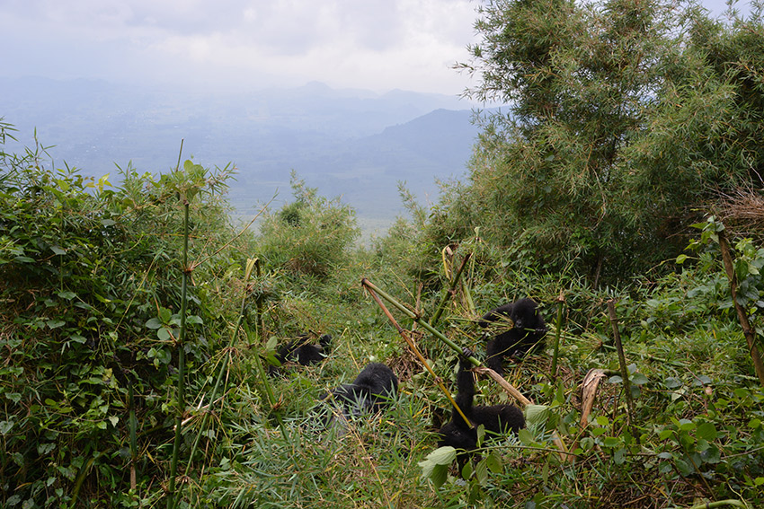 Our first glimpse of the mountain gorillas.