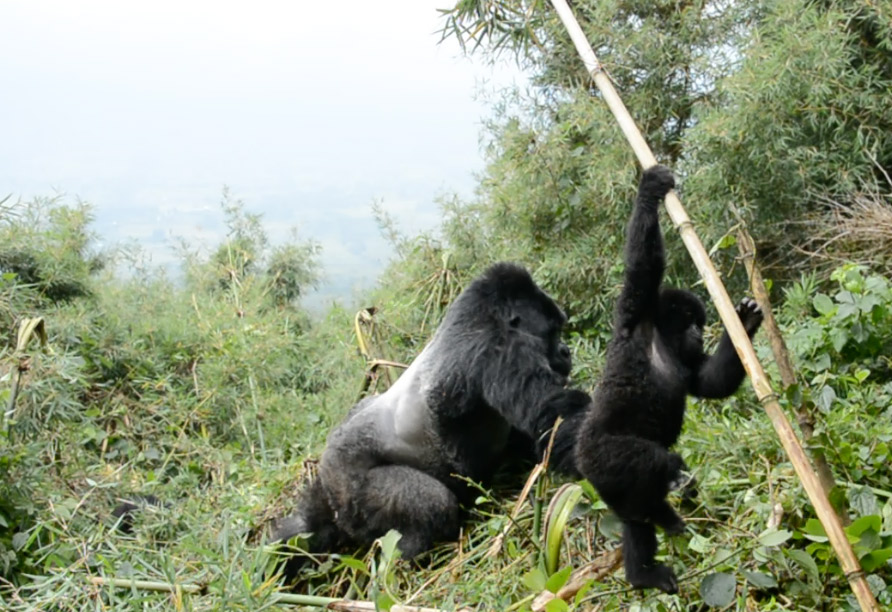 It was thrilling to see the silverback moving around.