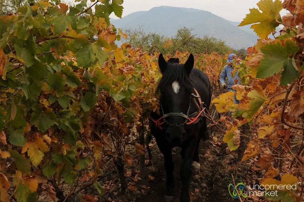 Bio-dynamic winemaking at work at Antiyal Winery in Maipo Alto.