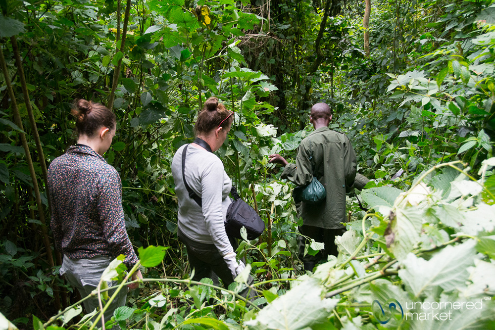 Following the trackers through the thick forest to find the gorillas.
