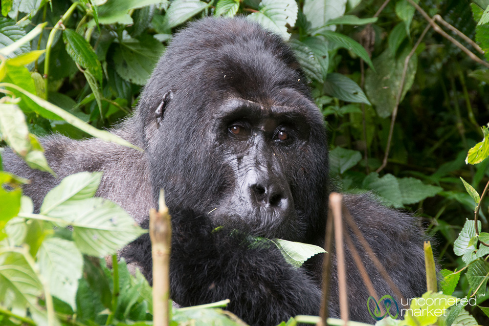 Turning the corner and coming face to face with a large silverback gorilla is awesome in the truest sense of the word.