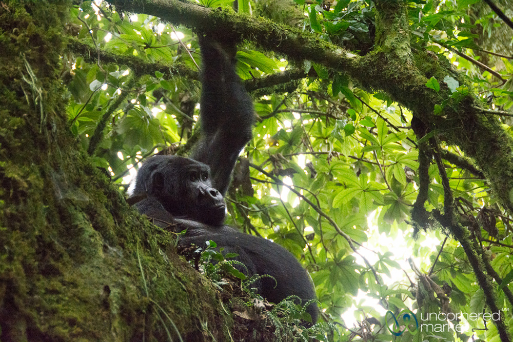 A teenaged gorilla hanging out in a tree above us.