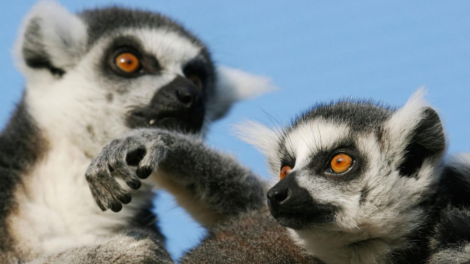 The hands-down superstars of Madagascar are the endangered lemurs.