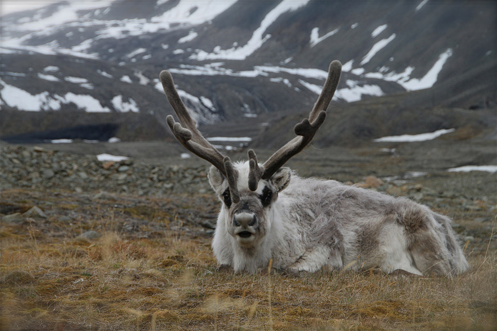 Get out and explore in Longyearbyen and you might just spot one of these. Photo courtesy Anne S.