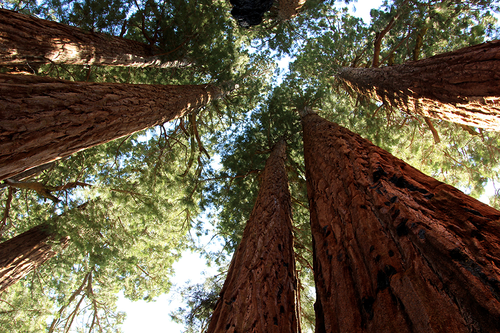 Sequoia National Park is famous for its massive, towering namesake trees. Photo courtesy of Su-May.