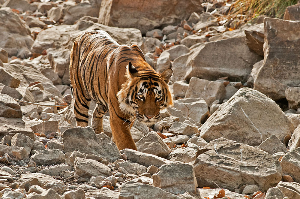 There are approximately 60 tigers living in Rathnambore National Park. Photo courtesy of Allan Hopkins.